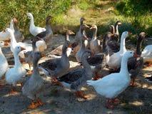 Os rebanhos dos gansos pastam no gramado no verão ensolarado Foto de Stock
