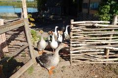 Os rebanhos dos gansos pastam no gramado no verão ensolarado Imagem de Stock Royalty Free