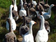 Os rebanhos dos gansos pastam no gramado no verão ensolarado Fotos de Stock