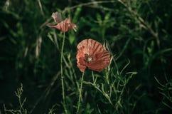 Os rhoeas vermelhos claros do Papaver da papoila florescem entre ervas verdes do campo Flor da papoila na luz solar da manhã Macr imagens de stock royalty free