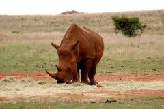 Os rinocerontes brancos africanos imagem de stock