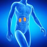 Os rins humanos Imagens de Stock