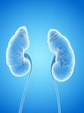 Os rins humanos Imagem de Stock