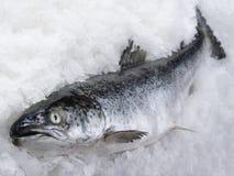 Os salmões pescam o encontro imagens de stock royalty free