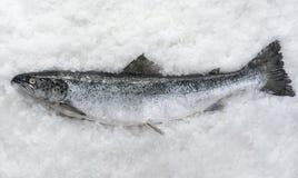Os salmões pescam o encontro foto de stock