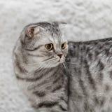 Os scottish cinzentos dobram o gato com os olhos amarelos que levantam no fundo branco Fotos de Stock