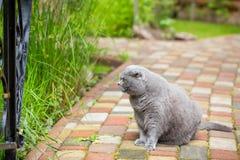Os scottish cinzentos dobram o gato que senta-se em um pavimento colorido em um jardim Fotos de Stock Royalty Free