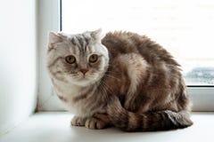 Os Scottish cinzentos macios bonitos do gato malhado dobram o gato com olhos amarelos fotos de stock