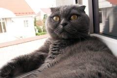 Os Scottish coloridos fumarentos dobram o gato que descansa na soleira imagens de stock