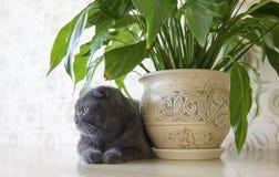 Os Scottish de orelhas caídas cinzentos dobram o gato que senta-se perto da flor de Spathiphyllum na tabela Foto de Stock Royalty Free