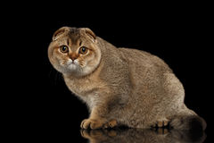Os Scottish dobram Cat Standing, olhando in camera no preto Fotografia de Stock Royalty Free