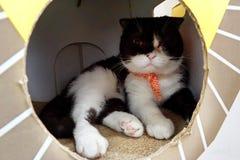 Os Scottish dobram o gato, branco e o gato preto pôs um lenço que senta-se na caixa fotos de stock royalty free