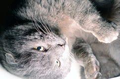 Os Scottish dobram o gato cinzento que olha acima Fotografia de Stock Royalty Free