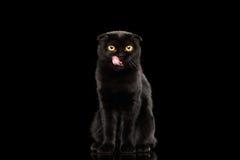 Os Scottish dobram o gato com os olhos amarelos que sentam-se e lambidos, preto isolado fotografia de stock
