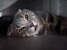 Os scottish engraçados dobram o gato com os olhos amarelos brilhantes que escondem na máscara sob a cama imagens de stock