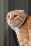 Os Scottish vermelhos dobram o gato Imagens de Stock