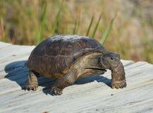 Os scurry da tartaruga de Gopher de volta a seu túnel na duna de areia quando os intrusos invadirem fotos de stock royalty free