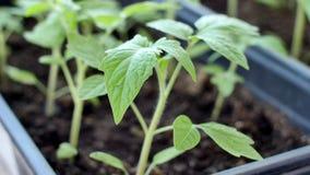 Os seedings verdes do tomate na estufa est?o prontos para plantar imagens de stock
