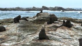 Os selos descansam nas rochas em Kaikoura vídeos de arquivo