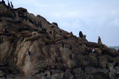 Os selos e os cormorões descansam em uma rocha perto do oceano Fotografia de Stock