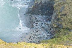Os selos em Cornualha encalham a angra da carne de carneiro perto da costa Inglaterra Reino Unido de Godrevy Cornualha Foto de Stock Royalty Free