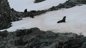 Os selos estão rastejando ao longo de uma inclinação de montanha coberta com a neve Andreev filme