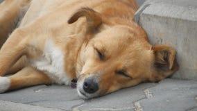 Os sem abrigo ruivos dispersos do cão estão dormindo no passeio Caminhada dos povos perto filme