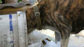 Os sem abrigo tigre-coloridos perseguem estão procurando o alimento em um balde do lixo na rua O problema de animais dispersos filme
