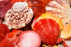 Os shell do mar fecham-se acima na praia de Santa Maria - Cabo Verde Imagens de Stock