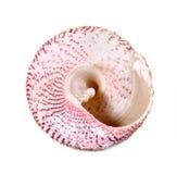 Os shell fecham-se isolado acima no fundo branco Foto de Stock Royalty Free