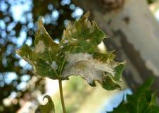 Os sinais visíveis da árvore doente Fotos de Stock Royalty Free