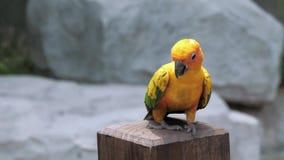 Os solstitialis coloridos bonitos de Aratinga do conure do sol repetem mecanicamente o pássaro no cargo de madeira filme