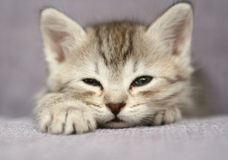 Os sonos cinzentos pequenos do gatinho Fotografia de Stock Royalty Free