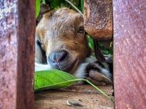 Os sonos da cabra foto de stock