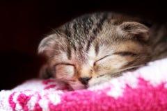 Os sonos do gatinho Fotografia de Stock Royalty Free