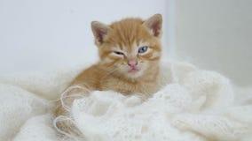 Os sonos do gatinho do gengibre envolvidos no branco fizeram malha o gato do fluff do lenço foto de stock