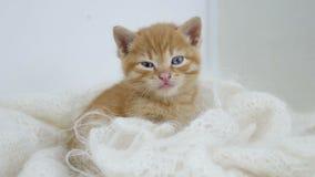 Os sonos do gatinho do gengibre envolvidos no branco fizeram malha o gato do fluff do lenço imagem de stock royalty free