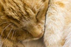 Os sonos vermelhos do gato fecham-se acima imagens de stock royalty free