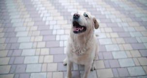 Os sorrisos do c?o O cão está pronto para jogar e está esperando o proprietário filme
