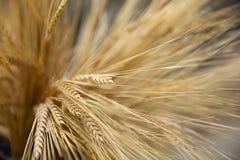 Os spikelets amarelos do trigo na queda foto de stock