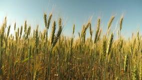 Os Spikelets do trigo com grão agitam o vento trigo a favor do meio ambiente campo do trigo de amadurecimento contra o azul vídeos de arquivo