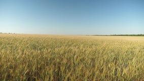 Os Spikelets do trigo com gr?o agitam o vento trigo a favor do meio ambiente campo do trigo de amadurecimento contra o azul video estoque