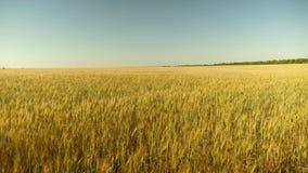 Os Spikelets do trigo com gr?o agitam o vento trigo a favor do meio ambiente campo do trigo de amadurecimento contra o azul vídeos de arquivo