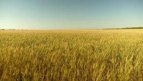 Os Spikelets do trigo com gr?o agitam o vento trigo a favor do meio ambiente campo do trigo de amadurecimento contra o azul filme