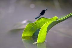 Os splendens Calopterygidae de Calopteryx do Demoiselle fotografia de stock