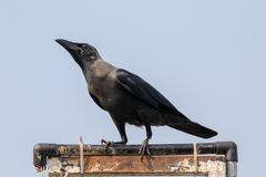 Os splendens do Corvus do corvo de casa, Foto de Stock