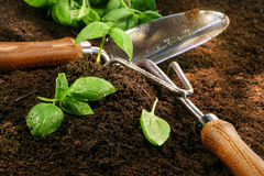 Os Sprigs da manjericão cortaram do jardim Foto de Stock