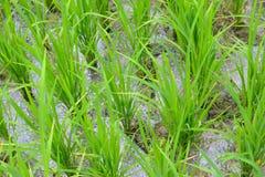Os sprouts do arroz Fotos de Stock