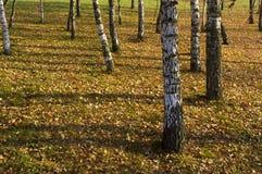 Os staems da árvore de vidoeiro no aumnal estacionam com sombras longas Imagens de Stock
