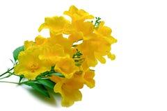 Os stans de Tecoma ou a pessoa idosa amarela ou Trumpetbush ou Trumpetflower, sejam imagens de stock